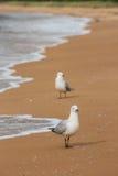 mouettes Rouge-affichées sur la plage Photos libres de droits