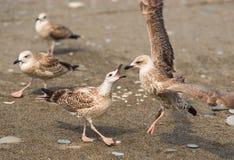 Mouettes se disputant au-dessus de la nourriture sur des rivages de la Mer Noire Photos stock