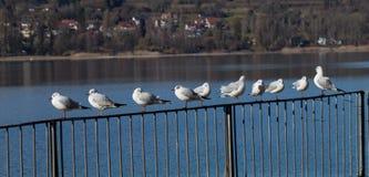 Mouettes se reposant sur une barrière Image libre de droits