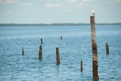 Mouettes se tenant sur le bambou Photographie stock libre de droits