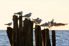 Mouettes sur des brise-lames dans le ressac sur la côte baltique polonaise Photos libres de droits