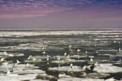 Mouettes sur la mer glaciale Photos libres de droits
