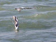 Mouettes sur la pêche Image libre de droits
