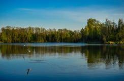 Mouettes sur la pêche de lac Images libres de droits