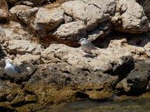 Mouettes sur la roche Photo libre de droits