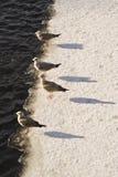 Mouettes sur le bord de glace Photographie stock libre de droits