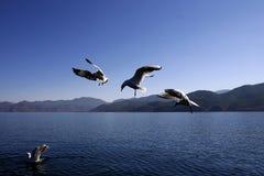 Mouettes sur le lac de lugu photographie stock