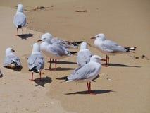 Mouettes sur le sable australien Photos libres de droits