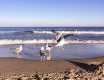 Mouettes sur une plage à la mer Image stock
