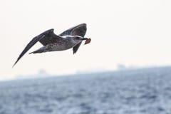 Mouettes volant au-dessus de la mer Image stock