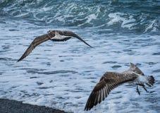 Mouettes volant au-dessus des vagues de la Mer Noire à Sotchi, Russie Image libre de droits