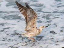 Mouettes volant au-dessus des vagues de la Mer Noire à Sotchi, Russie Images libres de droits