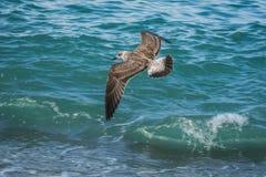 Mouettes volant au-dessus des vagues de la Mer Noire à Sotchi, Russie Images stock