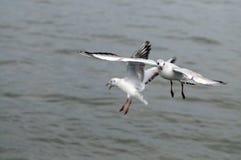 Mouettes volantes, silhouette de vue de côté Mouette chassant en bas des poissons photo libre de droits