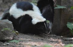 Mouffette rayée blanche et noire pelucheuse rampant le long images stock