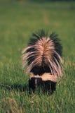 Mouffette rayée dans l'herbe Photos libres de droits
