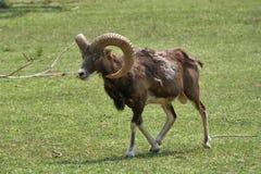 Moufflon в горе Стоковые Фото