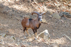 Moufflon овец горы Стоковое фото RF