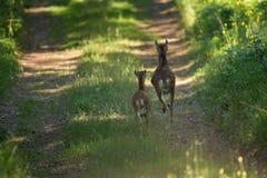 Moufflon baranka i ewe stojak na lesie Zdjęcie Royalty Free