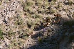 Moufflon europeo sulle rocce in montagne delle alpi, Francia Fotografie Stock