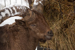Moufflon goat in the winter Royalty Free Stock Images
