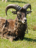 Moufflon male. Resting male mouflon sheep, warm spring weather Stock Photos