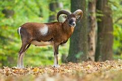 Moufflon masculino en el bosque Fotografía de archivo libre de regalías