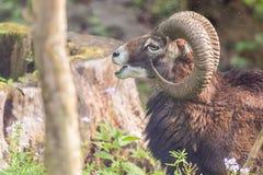 Moufflon samiec je trawy w ranku Obraz Royalty Free