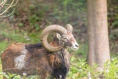 Moufflon samiec je trawy w ranku Zdjęcie Royalty Free