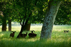 moufflons καλοκαίρι πάρκων Στοκ φωτογραφία με δικαίωμα ελεύθερης χρήσης