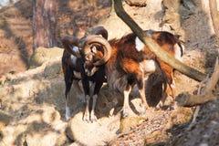 Moufflons в лесе Стоковая Фотография