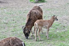 mouflon母亲动物爱有吃草草的小的羊羔的 图库摄影