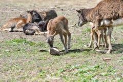mouflon母亲动物爱有吃草草的小的羊羔的 库存照片