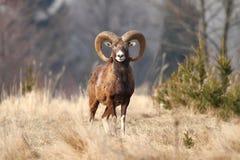 Mouflon男性 免版税库存图片