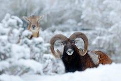 Mouflon,羊属orientalis,与雪在森林里,有角的动物的冬天场面的男性和女性在自然栖所 画象o 库存照片