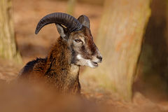 Mouflon,羊属orientalis,森林有角的动物在自然栖所,哺乳动物画象与大垫铁,普拉哈,捷克的 Wil 免版税库存照片