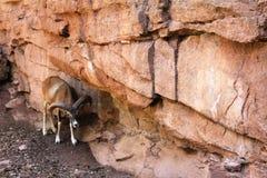 Mouflon à côté des roches dans l'Eifelpark, en Allemagne Photos libres de droits