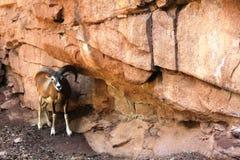 Mouflon à côté des roches dans l'Eifelpark, en Allemagne Photographie stock libre de droits