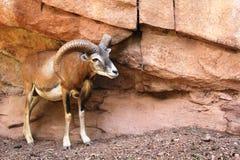 Mouflon à côté des roches dans l'Eifelpark, en Allemagne Images libres de droits