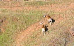 Mouflon Кипра одичалое Стоковые Фотографии RF