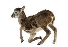 年轻mouflon -羊属orientalis orientalis 免版税库存照片
