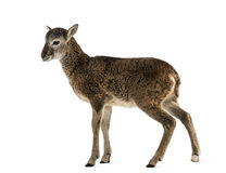 年轻mouflon -羊属orientalis orientalis 库存图片