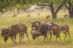 Mouflon Стоковое Изображение