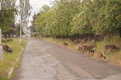 Mouflon Стоковая Фотография RF