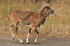 Mouflon Стоковые Фотографии RF