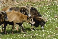 mouflon Fotografering för Bildbyråer