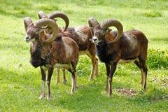 Mouflon Immagini Stock
