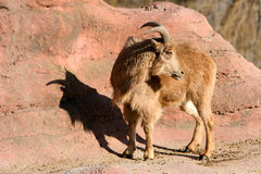 Mouflon. Standing in the sun with shadow Royalty Free Stock Image