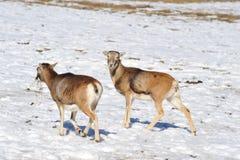 mouflon Стоковая Фотография