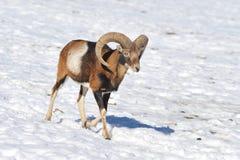 Mouflon fotografía de archivo